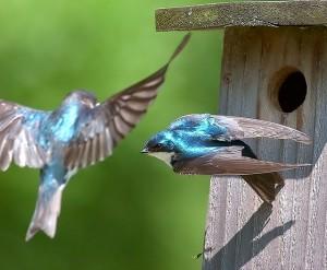4100277560_5b22ec0e2d_z blue birds ready to take flight